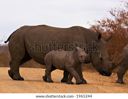 Rhino with baby in kruger national park - stock photo