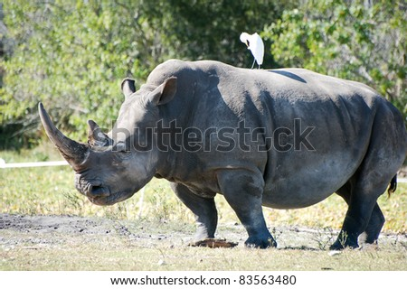 Rhinoceros - stock photo