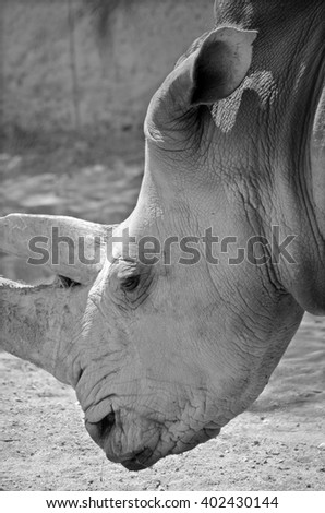 Rhinoceros also known as rhino, is a group of five extant species of odd-toed ungulates in the family Rhinocerotidae. Two of these species are native to Africa and three to southern Asia. - stock photo