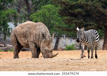 Rhinoceros and a zebra - safari animals peacefully grazing  - stock photo