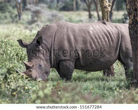 Rhinoceros at Lake Nakuru National Park - Kenya, East Africa - stock photo