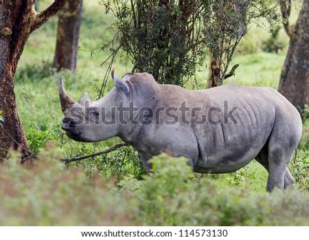 Rhinoceros at Lake Nakuru National Park - Kenya, Eastern Africa - stock photo