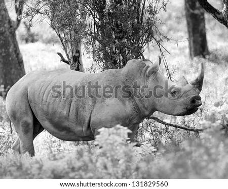 Rhinoceros at Lake Nakuru National Park - Kenya, Eastern Africa (black and white) - stock photo