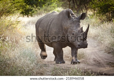 Rhinoceros, Bandia nature reserve, Senegal  - stock photo