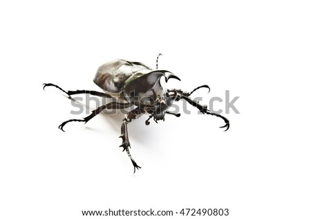 Rhinoceros beetle fighting on a white background.