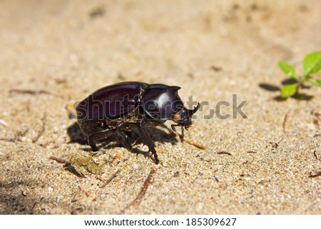 rhinoceros beetle in the natural environment, Ngwe Saung Beach, Myanmar(Burma)