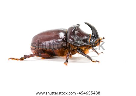 Rhinoceros beetle (Oryctes nasicornis) isolated on white - stock photo