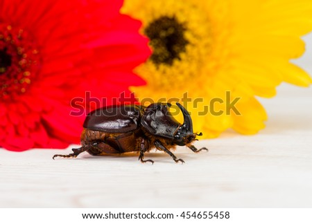 rhinoceros beetle (Oryctes nasicornis), mocup - stock photo
