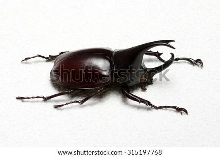 Rhinoceros beetle, Rhino beetle, Hercules beetle, Unicorn beetle, Horn beetle. - stock photo