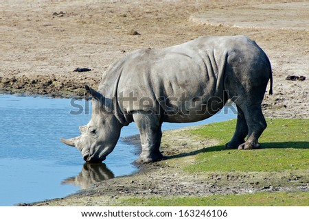 rhinoceros drinks water at pond