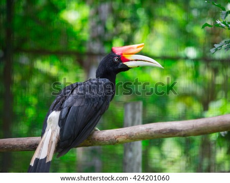 Rhinoceros Hornbill is one of largest hornbill, Its found in lowland and, tropical and in mountain rain forests in Borneo - stock photo