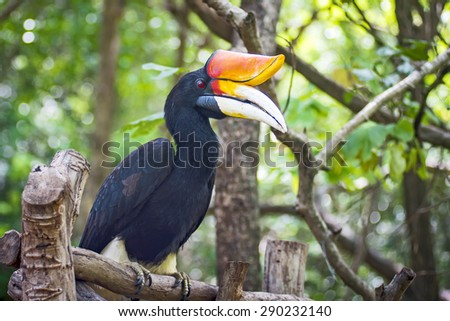 Rhinoceros Hornbill perched on a branch - stock photo