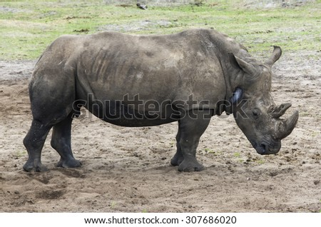 Rhinoceros in a zoo
