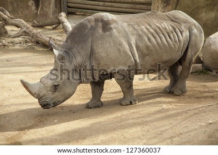 Rhinoceros in captivity. Barcelona's zoo.