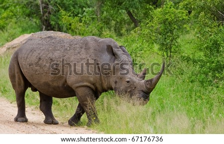 Rhinoceros in Kruger National Park, South Africa - stock photo