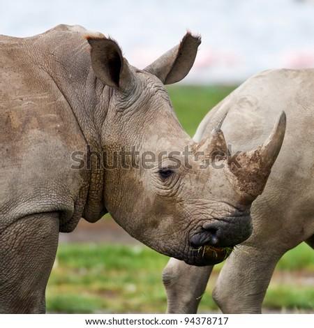 Rhinoceros in Lake Nakuru National Park, Kenya - stock photo