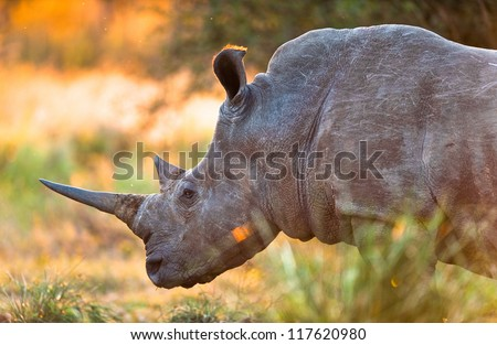 Rhinoceros in late afternoon, Kruger National Park - stock photo