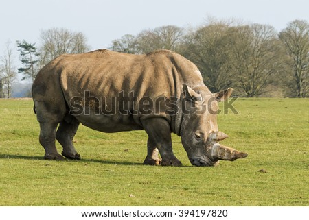 Rhinoceros in profile. A broadside view of a huge impressive rhinoceros as it grazes peacefully.