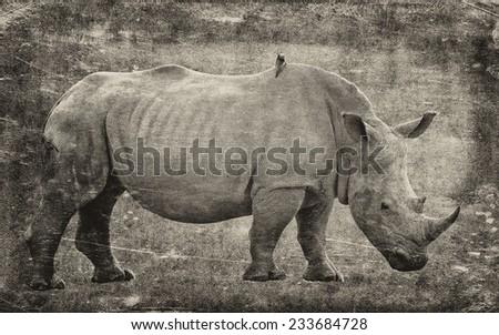 Rhinoceros isolated on textured grunge background - stock photo
