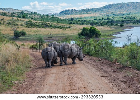 Rhinoceros, Pilanesberg national park. South Africa.