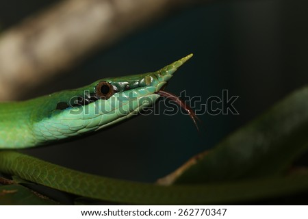 Rhinoceros Ratsnake {Rhynchophis Boulengeri} Also Known as (Rhinoceros Snake, Rhino Rat Snake, Vietnamese Longnose Snake, or Green Unicorn) Coiled on a Tree Branch with Tongue Showing