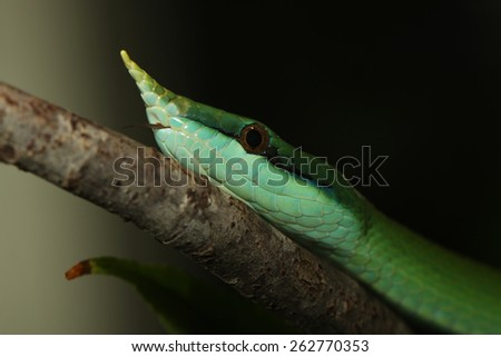 Rhinoceros Ratsnake {Rhynchophis Boulengeri} Also Known as (Rhinoceros Snake, Rhino Rat Snake, Vietnamese Longnose Snake, or Green Unicorn) Coiled on a Tree Branch
