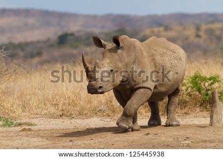 Rhinoceros walking through the field - stock photo