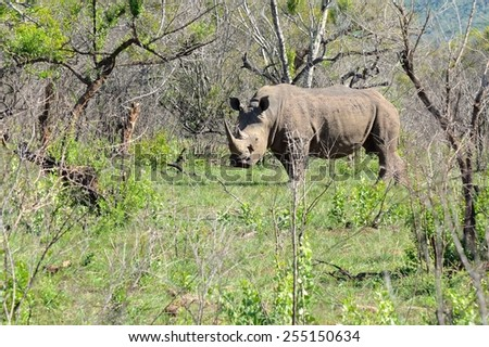 Rhinoceros with  oxpecker eating ticks
