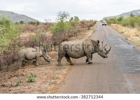Rhinos are crossing the road  - stock photo