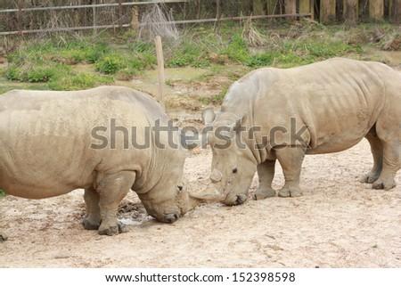 Rhinos standing in outdoor zoo habitat - stock photo