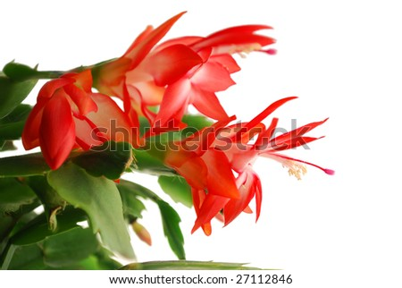 "Rhipsalidopsis, ""Christmas flower"" or ""Easter candle"" - stock photo"