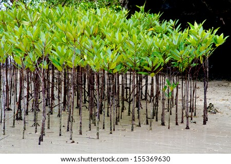 Rhizophora apiculata, Mangrove and roots on sand, Railay Beach, Krabi : Thailand  - stock photo