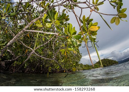 Rhizophora mangrove trees line the edge of a remote island in eastern Indonesia. Mangroves are vital to the overall health of tropical marine ecosystems around the world. - stock photo