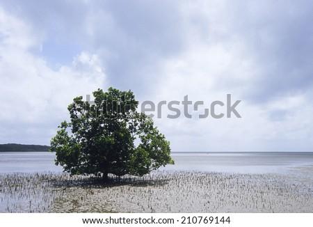 Rhizophora Stylosa Of Foreshore - stock photo