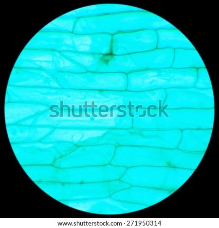 Rhode flagellate protozoa under a microscope (Allium Scale Euglena W.M.), 400x - stock photo