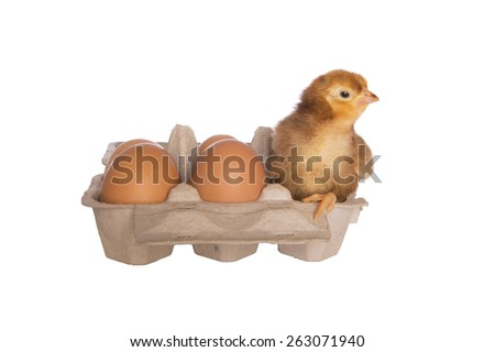 Rhode Island red chick in egg carton with eggs  isolated on white background - stock photo
