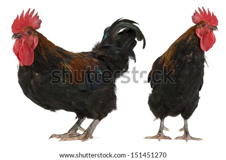 Rhode Island Red rooster isolated on white.