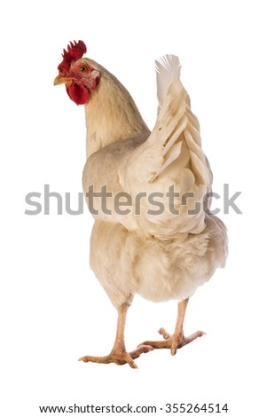 Rhode Island white chicken hen back side looking forward isolated on white background - stock photo