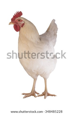 Rhode Island white chicken hen front view isolated on white background