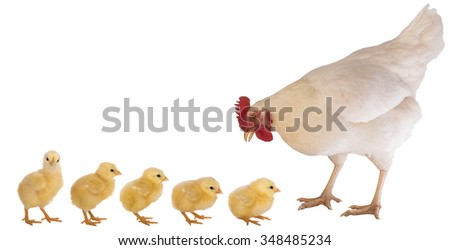 Rhode Island white chicken hen with five yellow baby chicks  isolated on white background