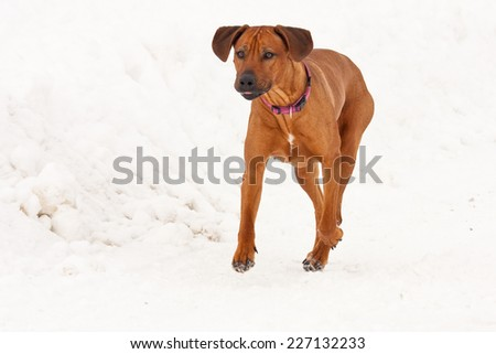 Rhodesian ridge-back dog walking in the snow