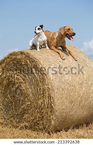 Rhodesian Ridgeback and Jack Russel Terrier lying on straw bale - stock photo