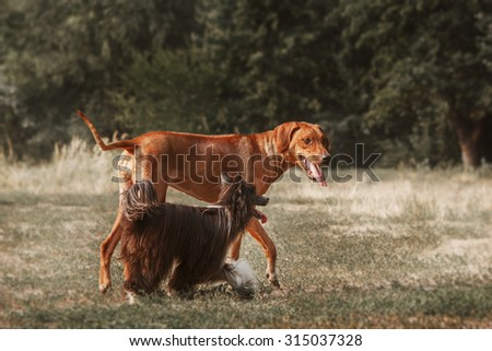 Rhodesian Ridgeback and the Chinese crested dog on a walk. Toned image - stock photo