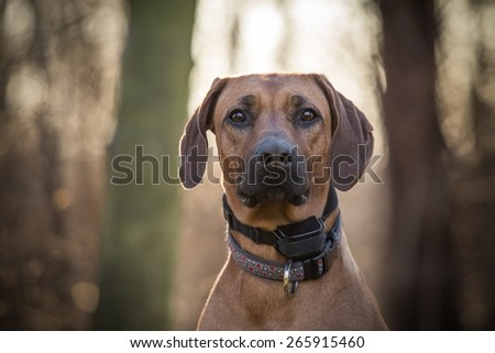 Rhodesian ridgeback at the forest with the sun behind - stock photo