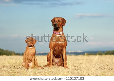 Rhodesian ridgeback dog adult and puppy