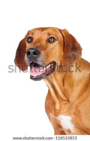 Rhodesian Ridgeback Dog  in studio on a white background