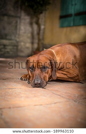 Rhodesian Ridgeback dog in the interior