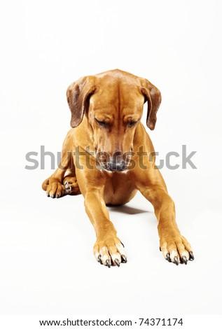 Rhodesian ridgeback dog is looking in free copy space - stock photo