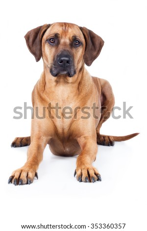 Rhodesian Ridgeback Dog is proud head on the floor and looks into the camera