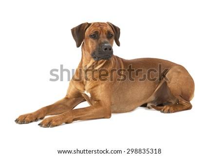 Rhodesian Ridgeback dog lying on a white background - stock photo